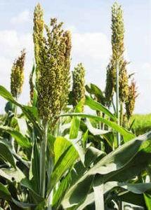 millet growing small 215x300 - Что Такое Просо? 6 причин добавить его к вашей диете