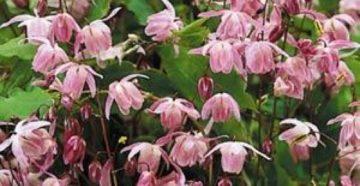 Эпимедиум крупноцветковый (Роговой козий сорняк) и его применение для здоровья женщин