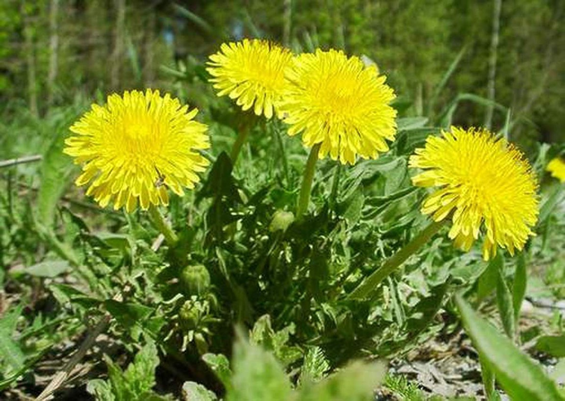 Листья Одуванчика: лечебные свойства, применение, как вырастить