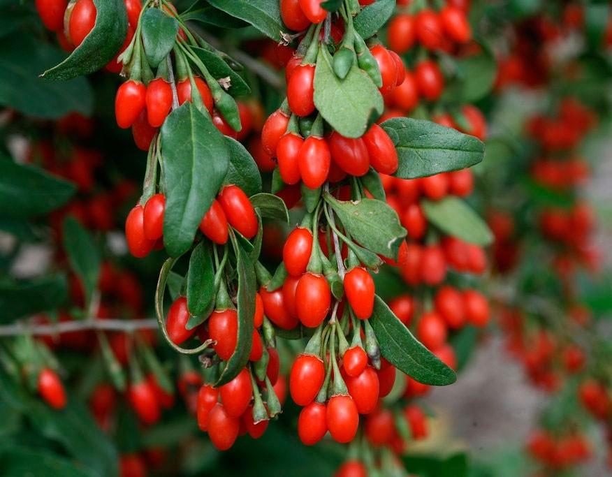 4 полезных свойства ягоды Годжи