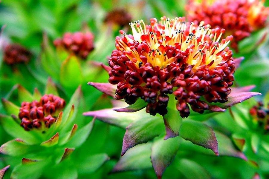 Адаптогенные Травы список и что такое Адаптогены?