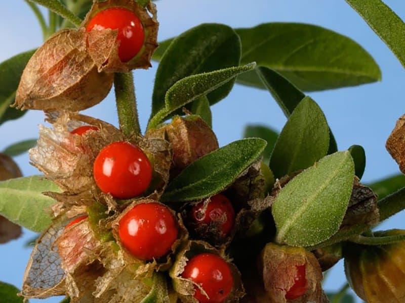 Ашваганда - лечебные свойства для здоровья и применение
