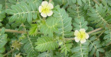 Tribulus terrestris - якорцы: травяной афродизиак?