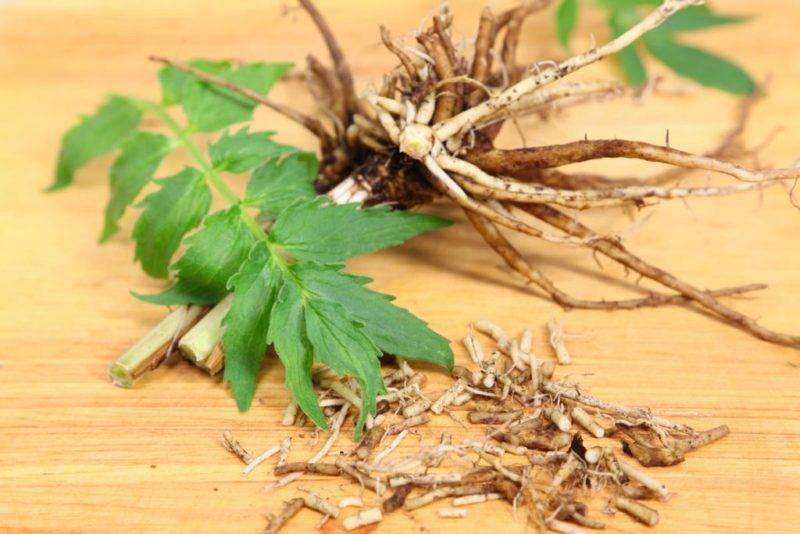 Польза корня валерианы: как использовать корень чуда природы