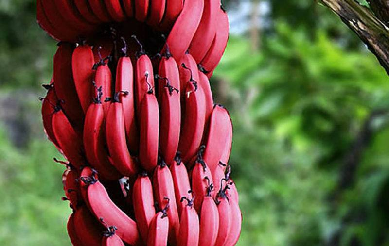Чем полезны красные бананы для здоровья и их отличие от желтых.